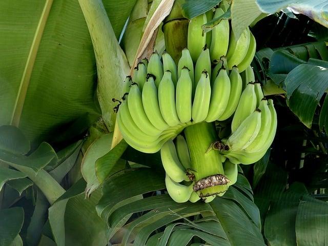 Galleria foto - Banane proprietà Foto 6
