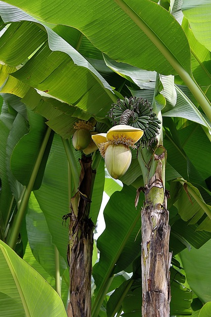 Galleria foto - Banane proprietà Foto 4