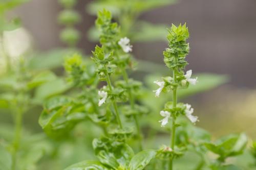 fiori di basilico