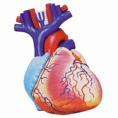 cuore in anatomia