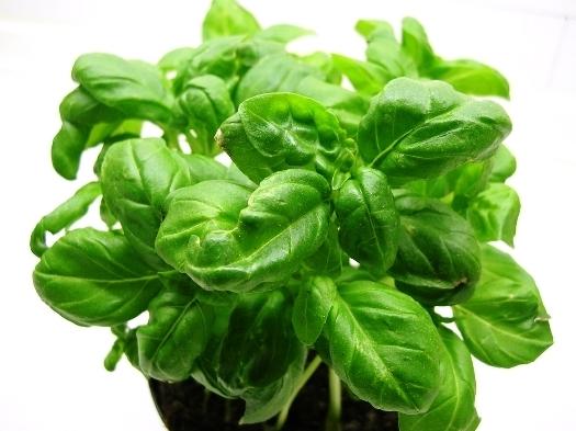 pianta basilico