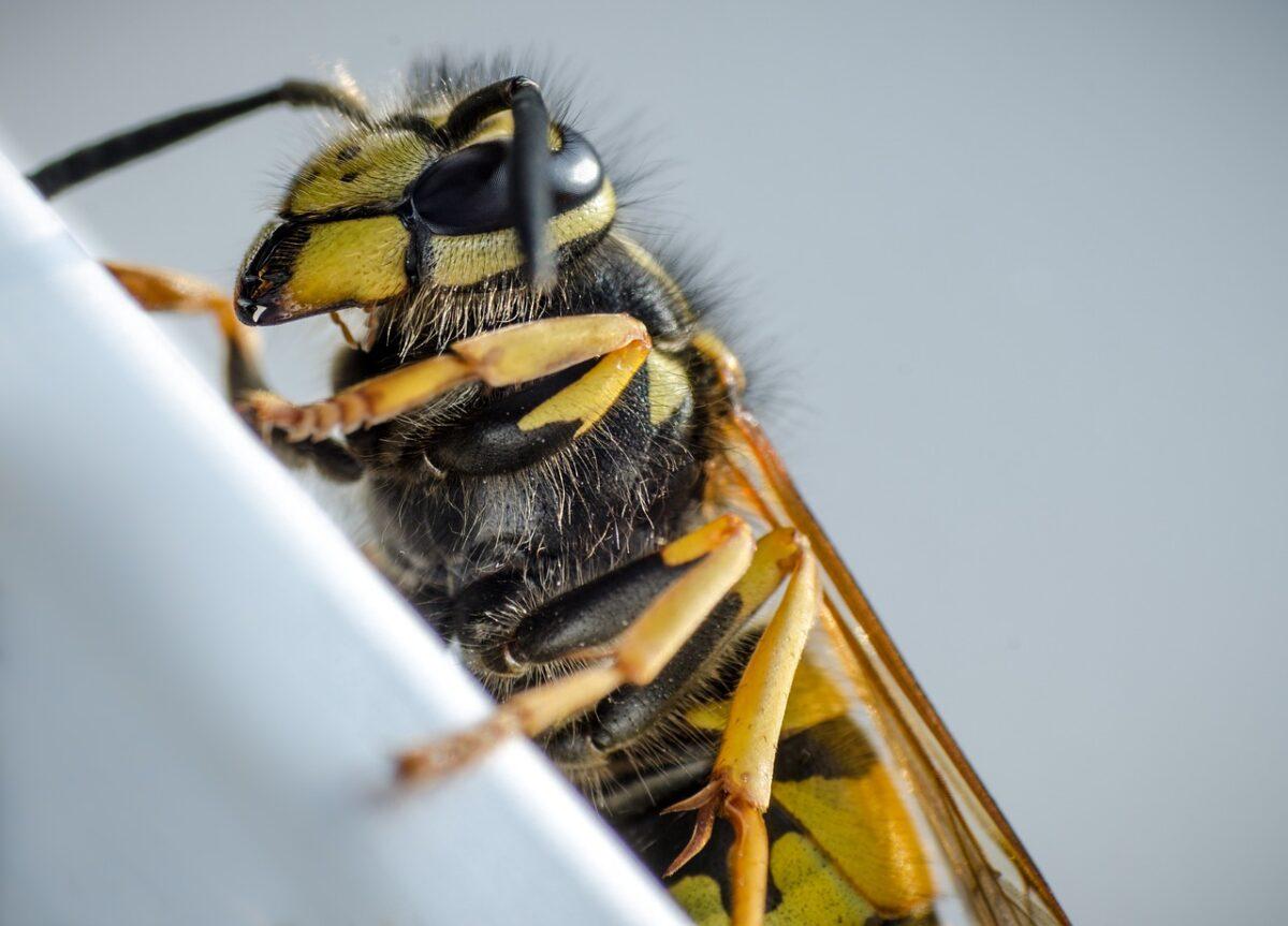 punture morsi wasp-5024465-1280