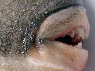 pesce-balestra-1-1339526-tn