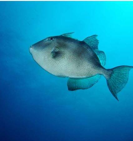 pesce balestra2