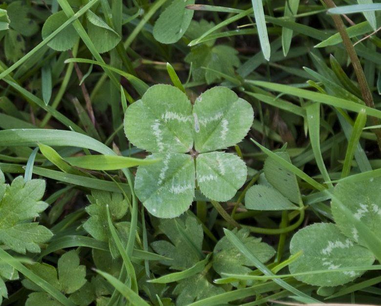 Four-leaf-Clover-Trifolium-repens-2